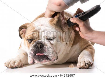 dog grooming - english bulldog getting ears shaved
