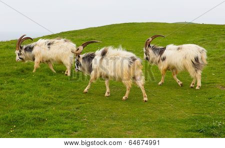Goats British Primitive goat breed