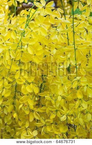 Golden Shower Flower