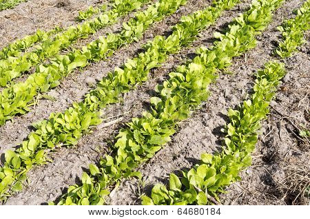 Bed with Giant Leaf spinach.