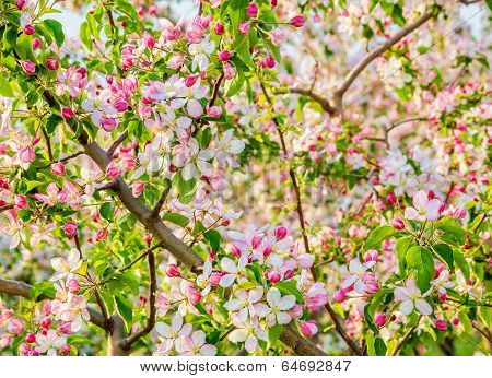 Flowering Branch Of Apple-tree In Spring