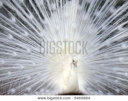 White Peacock Displaying His Beautiful Tail