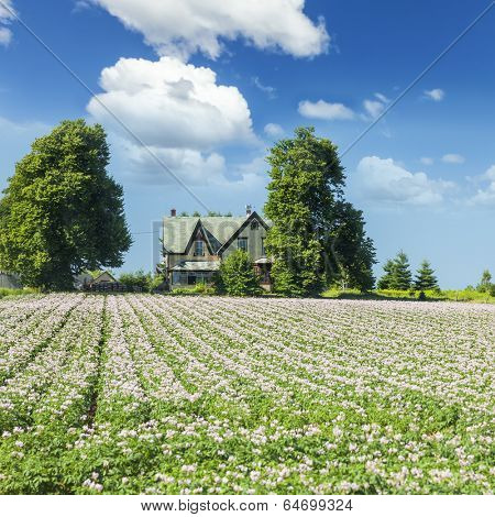 A farm field with rows of flowering potatoes in rural Prince Edward Island, Canada.