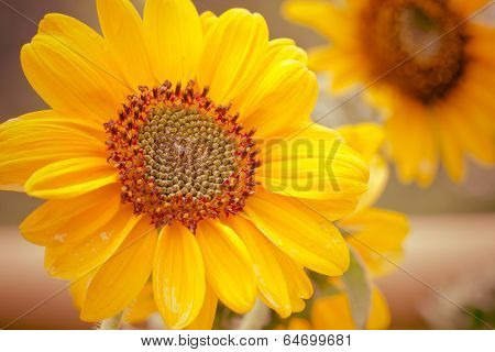 Vintage Sunflower
