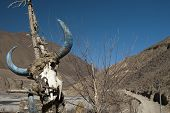stock photo of cow skeleton  - Display of skeleton of skull of Himalayan cow Yak - JPG