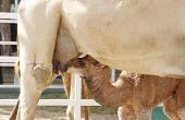 stock photo of eukaryote  - Camels Are Domesticated - JPG