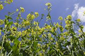 stock photo of rape  - Landscape image of oil seed rape in flower - JPG
