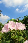 stock photo of ipomoea  - Morning Glory Tree or Ipomoea carnea flowers and blue sky background