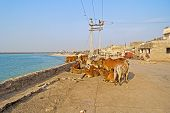 picture of zebu  - Group of indian cows zebu at the embankment of Porbandar Gujarat - JPG
