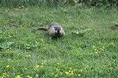 picture of groundhog  - Groundhog wandering over thick green grasses in early summer - JPG