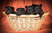picture of scottie dog  - litter of scottish terrier puppies in a basket isolated on white background - JPG