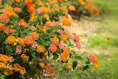 picture of lantana  - Lantana Camara flower in the garden under sunlight - JPG