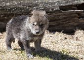 Постер, плакат: Timber wolf pup