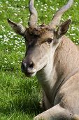 foto of eland  - closeup of a eland antelope with a very soft face and twisted horns resting on green grass - JPG