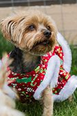 picture of yorkie  - small yorki wearing a Christmas sweater looking at the distance - JPG