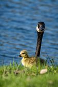 image of baby goose  - baby gosling feeding on green spring grass with a parent watching over him  - JPG