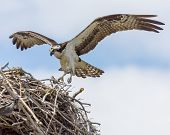 stock photo of osprey  - Brown  - JPG