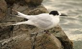stock photo of tern  - A White - JPG