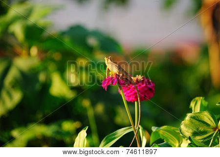 Chameleon On Zinnia