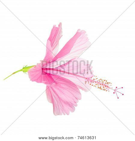 Pink Soft Hibiscus Flower Head Is Isolated On White Background, Closeup
