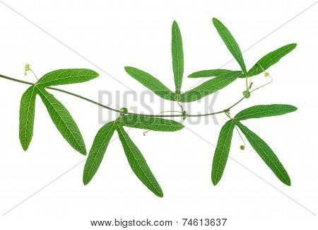 Closeup Of Beautiful Green Passionflower Branch With Tendrils Is Isolated On White Background