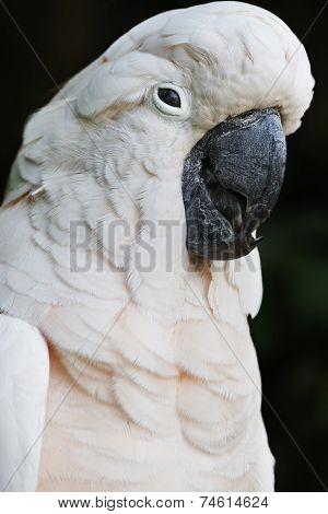 Moluccan Cockatoo parrot