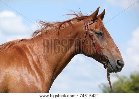 Nice Budyonny Horse Standing On Meadow