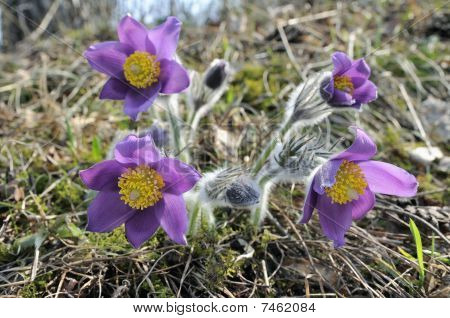 The Pasqueflowers Early In The Morning.