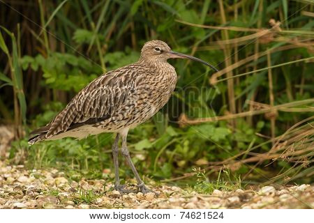 Curlew Wading Bird
