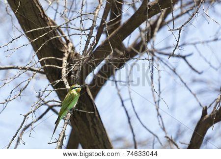 Blue-cheeked Bee-eater, Kenya