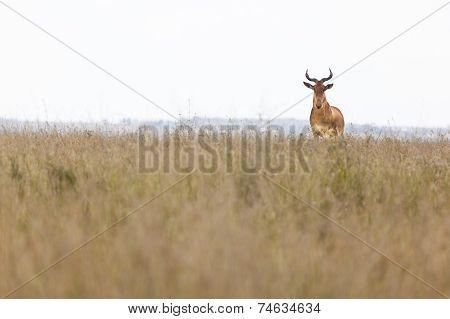 Hartebeest In Kenya