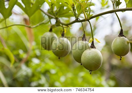 Passion Fruits On A Tree