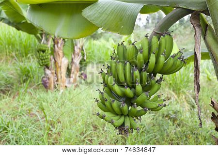 Bananas In Kenyan Garden