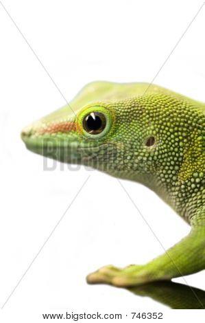Standings Day Gecko - Phelsuma Standingi
