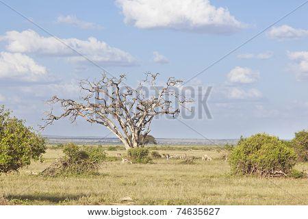 Gazelles In Amboseli, Kenya