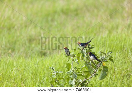 Lesser Striped Swallows, Kenya