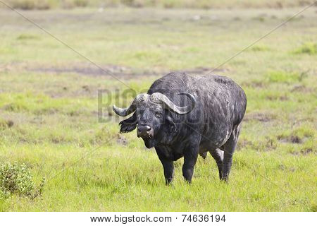 Cape Buffalo In Kenya