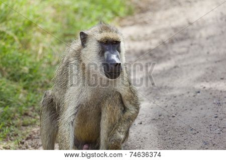 Baboon On Road In Kenya
