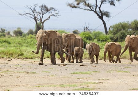 Elephant Herd In Kenya