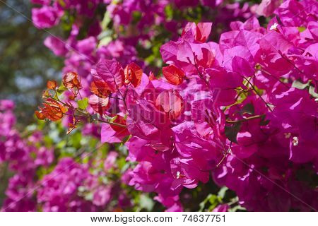 Bougainvillea At Lake Naivasha, Kenya
