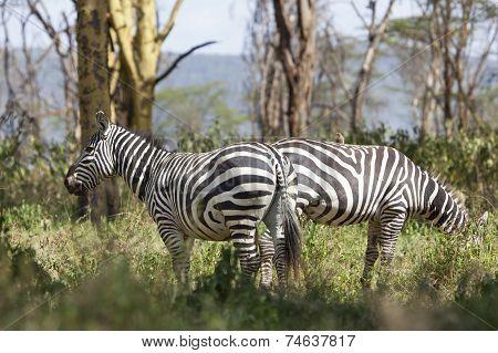 Zebras In Kenya