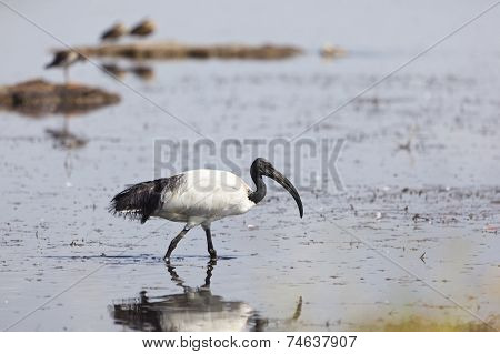 Sacred Ibis At Lake Nakuru, Kenya
