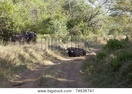 Cape Buffalos In Kenya