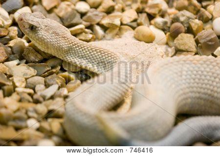Aruba Island Rattlesnake, Crotalus Unicolor