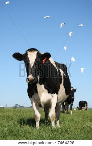 Cows In Pasture With Birds