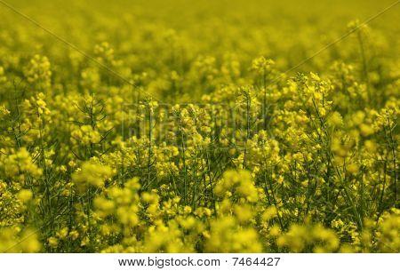 Oil seed rape