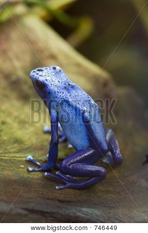 Blue Poison Arrow Frog - Blue Poison Dart Frog - Dendrobates Azu