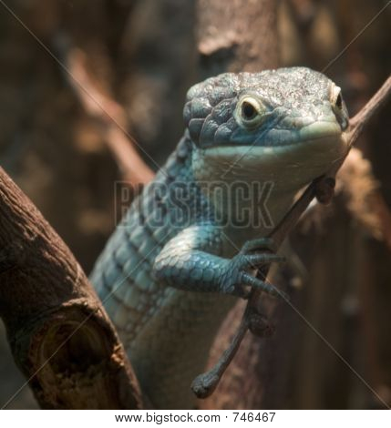 Aboreal Alligator Lizard