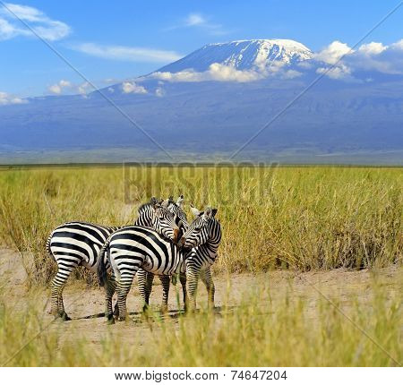 Zebra On The Background Of Mount Kilimanjaro