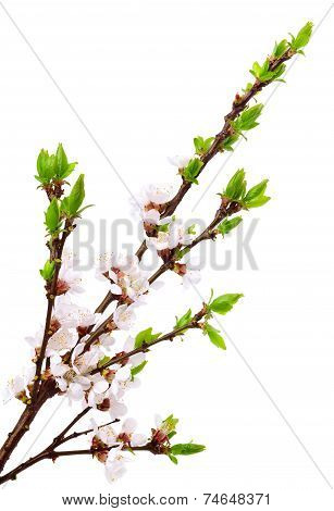 Cherry Twig In Bloom